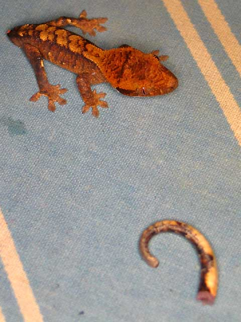 Crested Gecko Care The Gecko Spot
