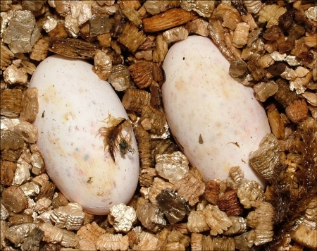 Crested Gecko Eggs