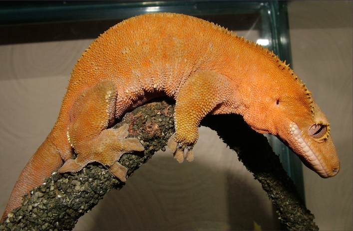 Crested Gecko Orange