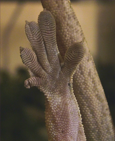 Crested Gecko Foot (Bottom)