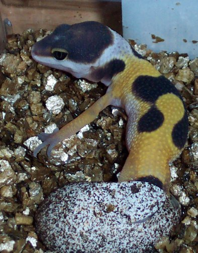 Hatchling Leopard Gecko Care | The Gecko Spot
