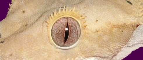 crested gecko eye